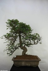 Bonsai Orme de Chine, Ulmus, no. 7071