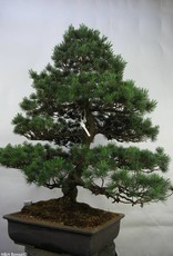 Bonsai Pin blanc du Japon, Pinus pentaphylla, no. 7072