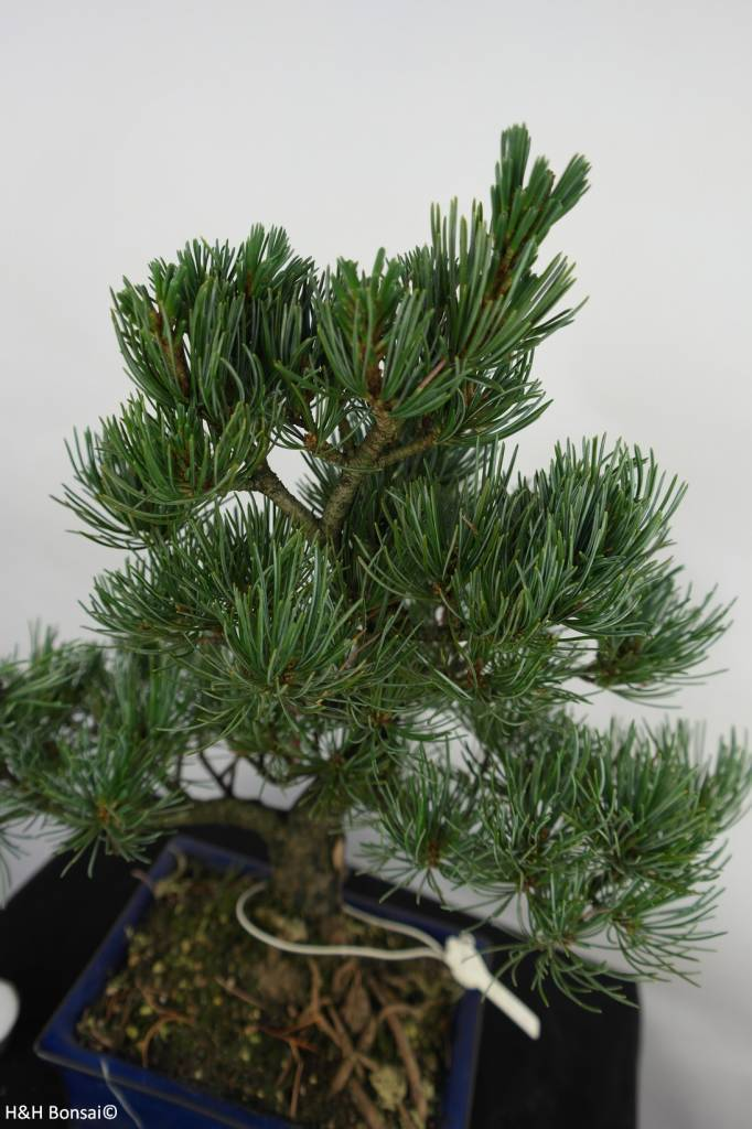 Bonsai Pinus pentaphylla, Japanse witte den, nr. 7074