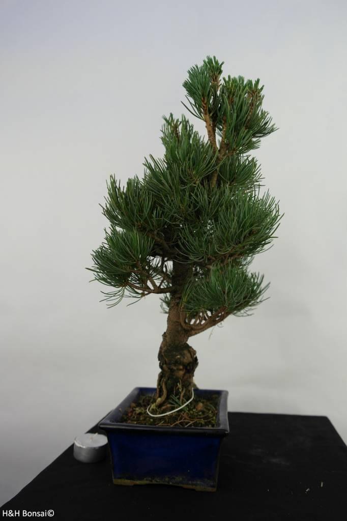 Bonsai Pin blanc du Japon,Pinus pentaphylla, no. 7075