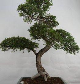 Bonsai Orme de Chine, Ulmus, no. 7094