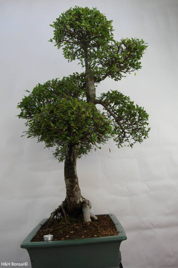 Bonsai Orme de Chine, Ulmus, no. 7094