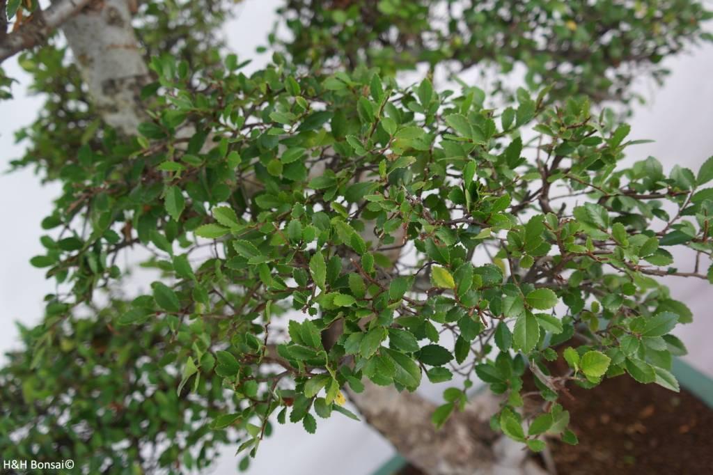 Bonsai Ulmus, Chinese Iep, nr. 7094