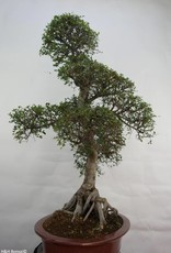 Bonsai Orme de Chine, Ulmus, no. 7095