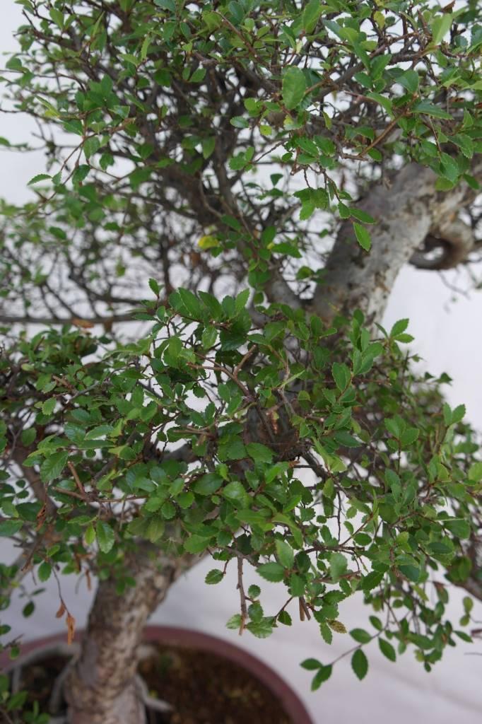 Bonsai Ulmus, Chinese Iep, nr. 7095