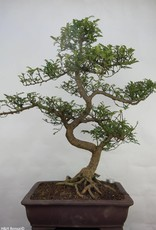 Bonsai Faux poivrier, Zanthoxylum piperitum, no. 7099