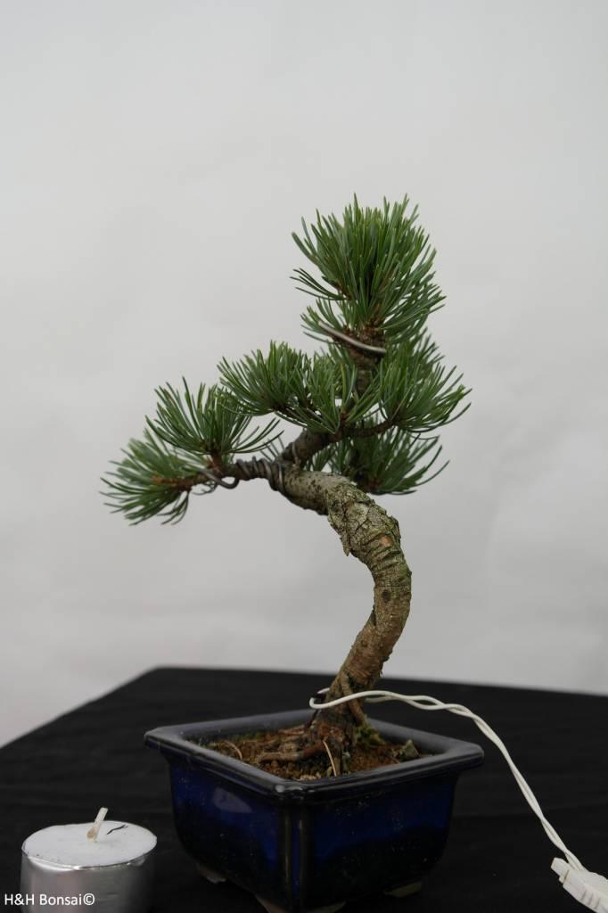 Bonsai Shohin Pin blanc du Japon, Pinus pentaphylla, no. 7104