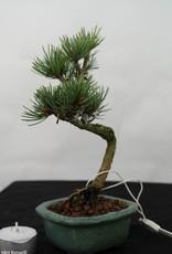 Bonsai Shohin Pinus pentaphylla, Japanse witte den, nr. 7105