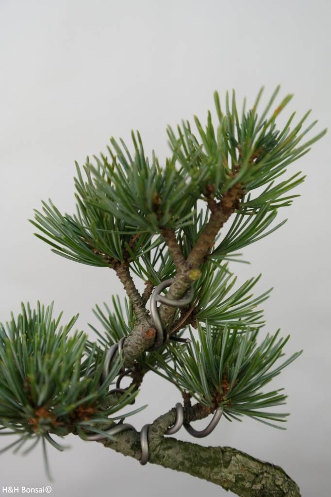 Bonsai Shohin Pin blanc du Japon, Pinus pentaphylla, no. 7105