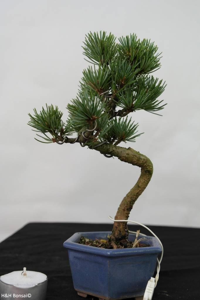 Bonsai Shohin Pin blanc du Japon, Pinus pentaphylla, no. 7106