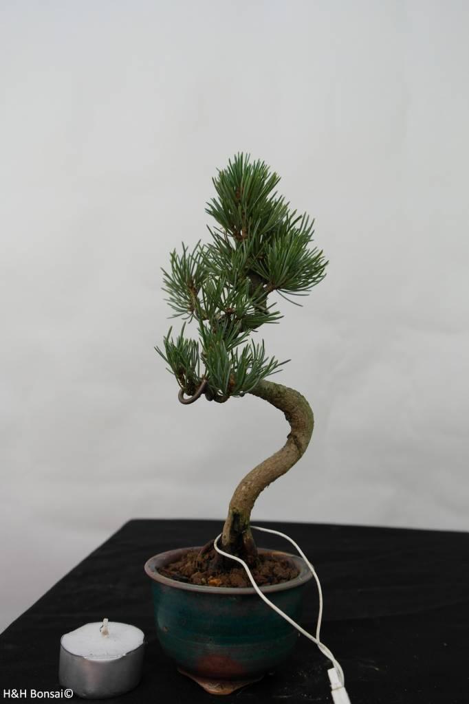 Bonsai Shohin Pinus pentaphylla, Japanse witte den, nr. 7108