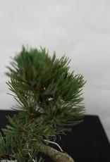 Bonsai Shohin Pin blanc du Japon, Pinus pentaphylla, no. 7108