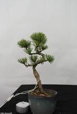Bonsai Shohin Pinus pentaphylla, Japanse witte den, nr. 7109