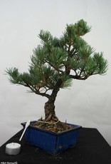 Bonsai Pinus pentaphylla, Japanse witte den, nr. 7110