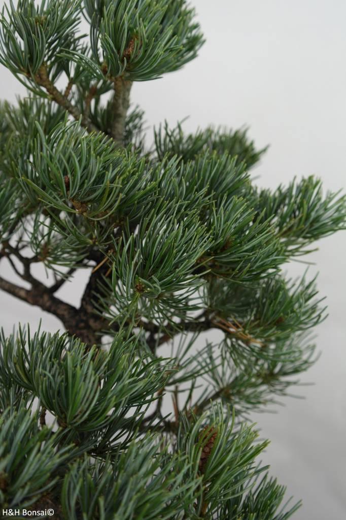 Bonsai Pin blanc du Japon, Pinus pentaphylla, no. 7110