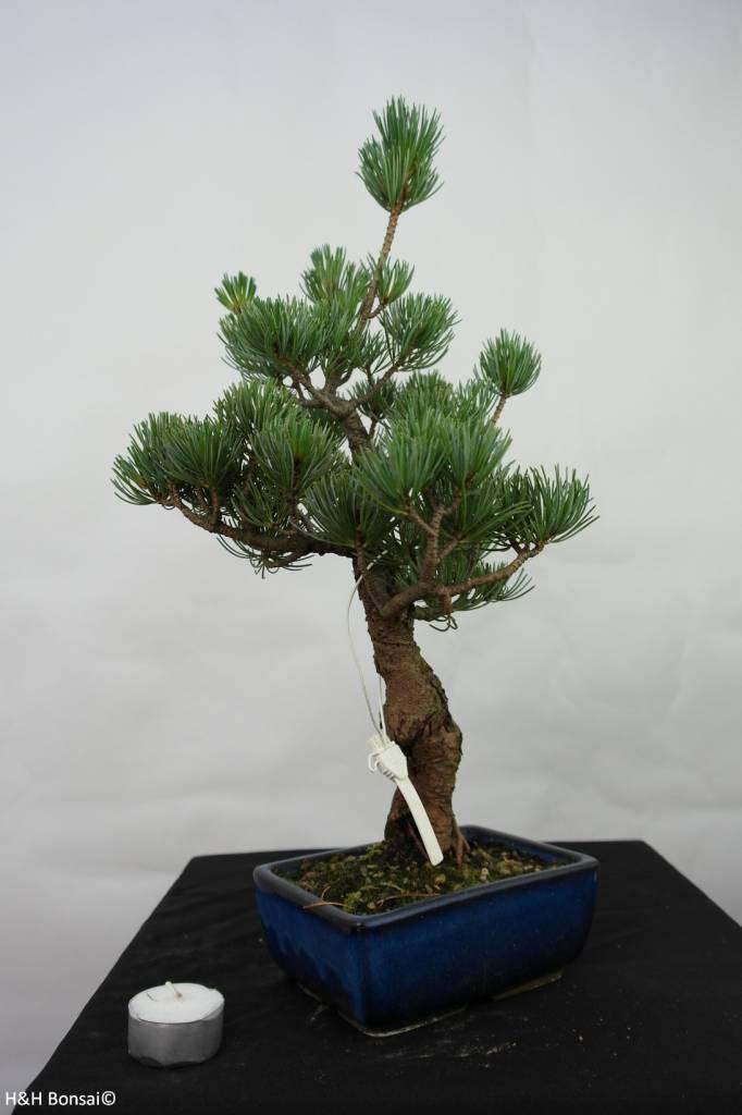Bonsai Pinus pentaphylla, Japanse witte den, nr. 7111