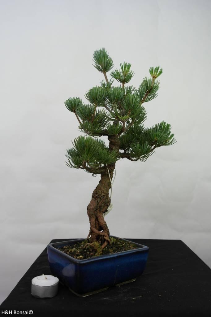 Bonsai Pin blanc du Japon, Pinus pentaphylla, no. 7111