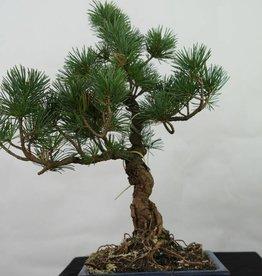 Bonsai Pinus pentaphylla, Japanse witte den, nr. 7113