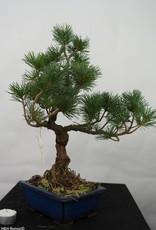 Bonsai Pin blanc du Japon, Pinus pentaphylla, no. 7113