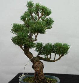 Bonsai Pinus pentaphylla, Japanse witte den, nr. 7114