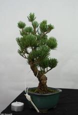 Bonsai Pin blanc du Japon, Pinus pentaphylla, no. 7114