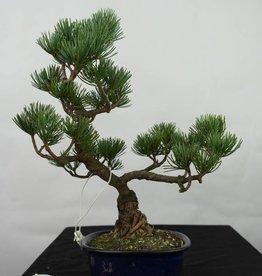 Bonsai Pinus pentaphylla, Japanse witte den, nr. 7115
