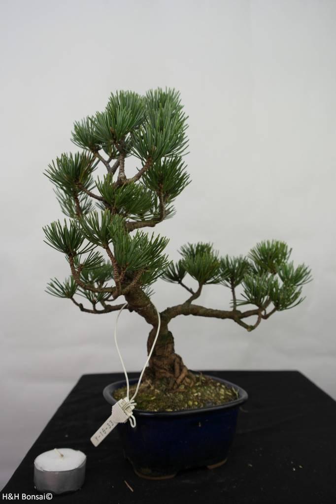 Bonsai Pin blanc du Japon, Pinus pentaphylla, no. 7115