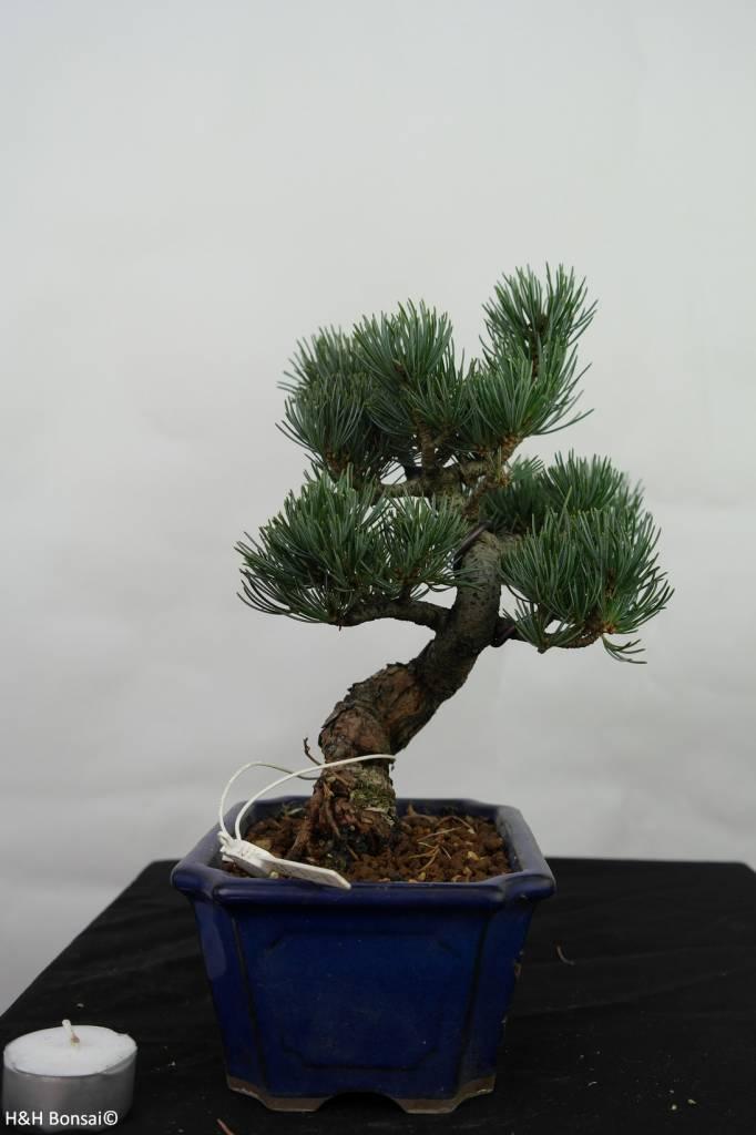 Bonsai Pinus pentaphylla, Japanse witte den, nr. 7116