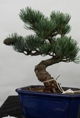 Bonsai Pin blanc du Japon, Pinus pentaphylla, no. 7116
