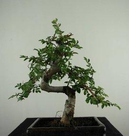 Bonsai Ulmus, Chinese Iep, nr. 6587