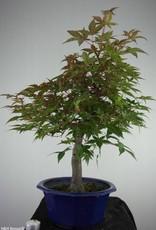 Bonsai L'Erable du Japon deshojo, Acer palmatum deshojo, no. 6816