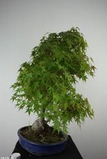 Bonsai L'Erable du Japon, Acer palmatum, no. 6839