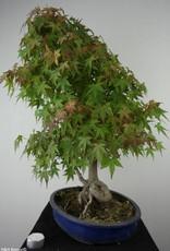 Bonsai Acer palmatum, Japanse esdoorn, nr. 6839