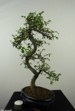 Bonsai Orme de Chine, Ulmus, no. 7124