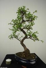 Bonsai Orme de Chine, Ulmus, no. 7126