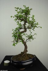 Bonsai Ulmus, Chinese Iep, nr. 7126
