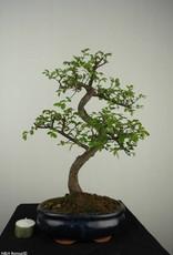 Bonsai Orme de Chine, Ulmus, no. 7127