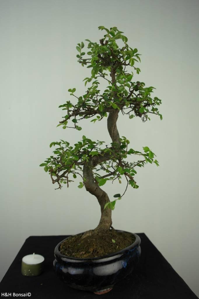Bonsai Orme de Chine, Ulmus, no. 7129