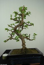 Bonsai Portulacaria afra, no. 7130