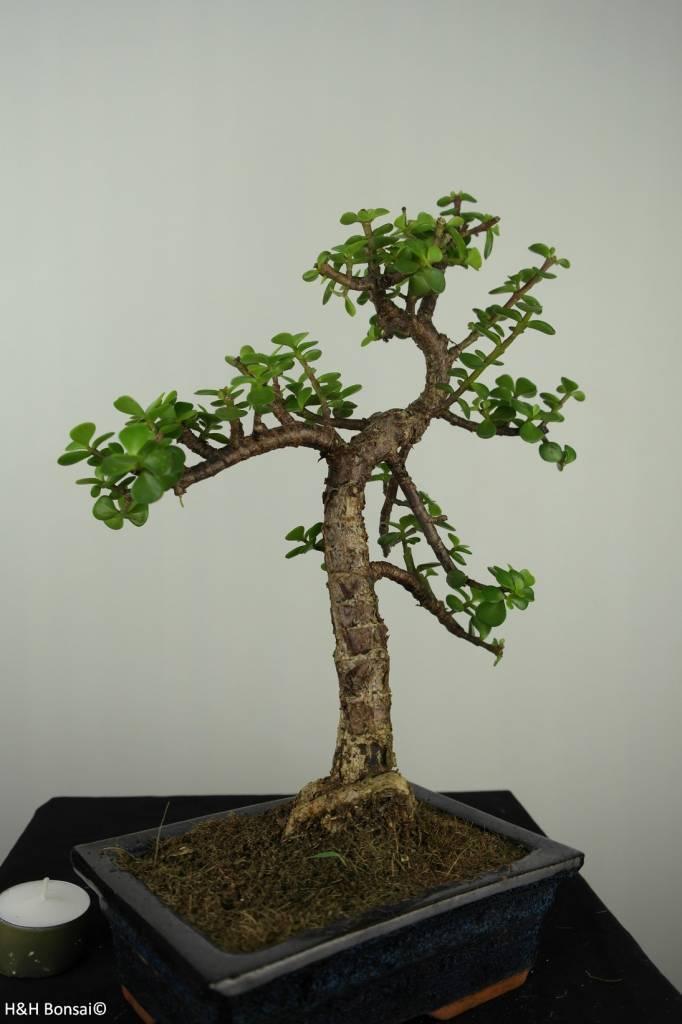Bonsai Portulacaria afra, no. 7133