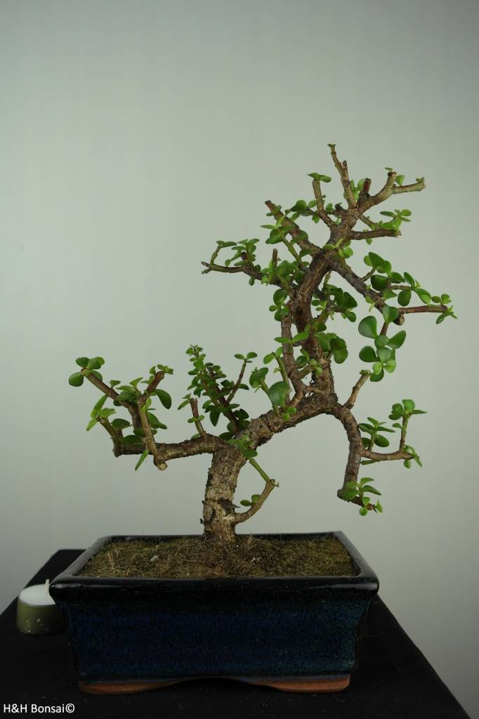 Bonsai Portulacaria afra, no. 7134