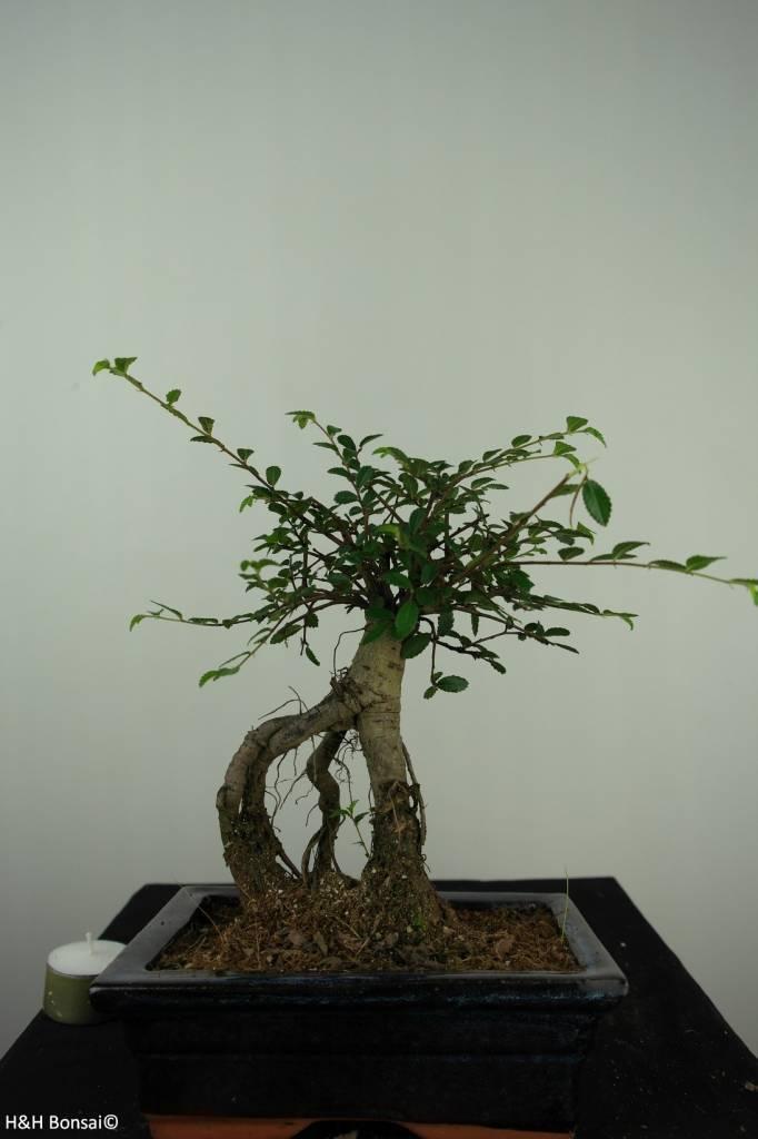 Bonsai Orme de Chine, Ulmus, no. 7146