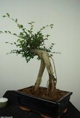Bonsai Orme de Chine, Ulmus, no. 7149