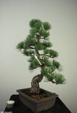 Bonsai Pin blanc du Japon, Pinus pentaphylla, no. 7150