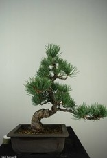 Bonsai Pin blanc du Japon, Pinus pentaphylla, no. 7152