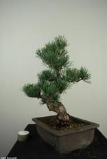Bonsai Pinus pentaphylla, Japanse witte den, nr. 7152