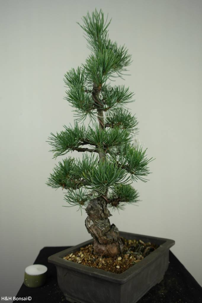 Bonsai Pinus pentaphylla, Japanse witte den, nr. 7154