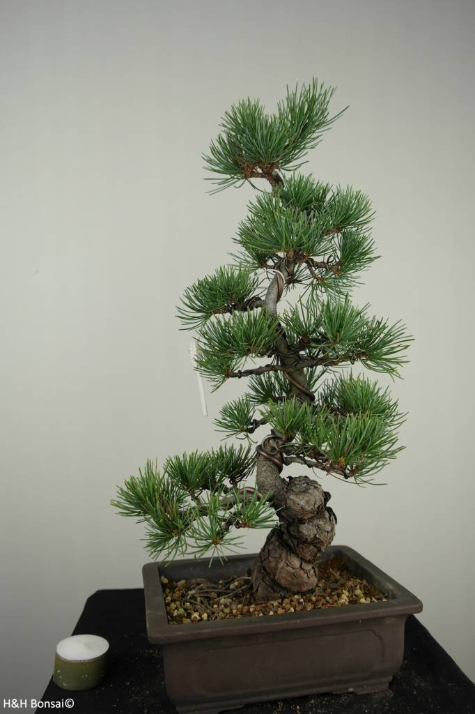 Bonsai Pin blanc du Japon, Pinus pentaphylla, no. 7154