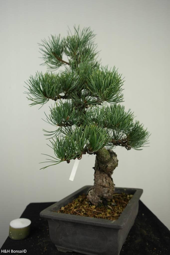 Bonsai Pin blanc du Japon, Pinus pentaphylla, no. 7155