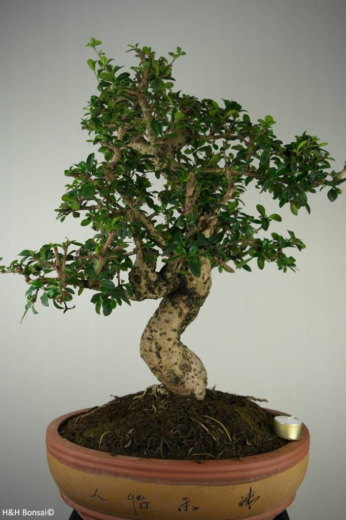Bonsai Arbre à thé, Carmona macrophylla, no. 7158